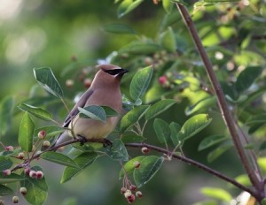 Serviceberry with cedar waxwing