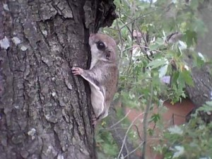 Flying Squirrel in Silver Maple Chesapeake VA